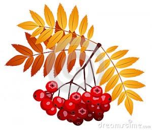 rowan-branch-rowanberries-leaves-vector-26733733